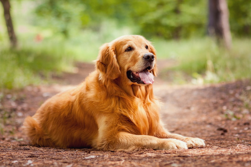 Golden Retriever (2)