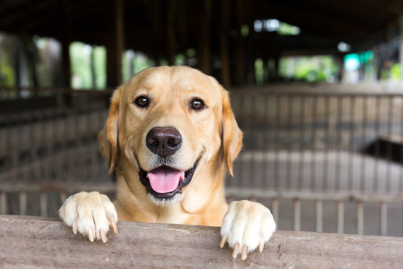 Labrador (2)
