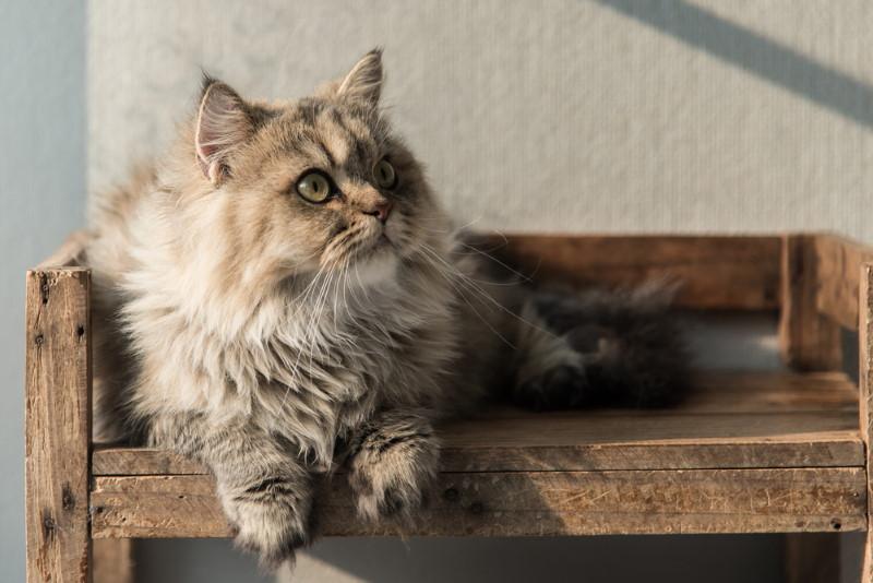 Pers kattenras
