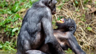 bonobo paren
