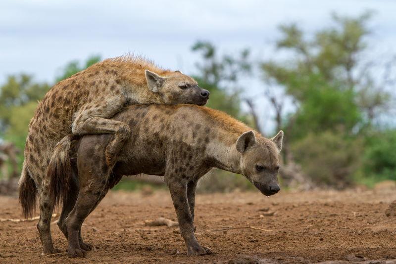 parende gevlekte hyena