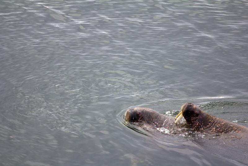 walrus paren