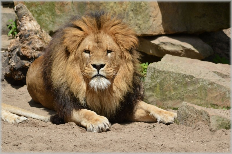 artis dierentuin leeuw