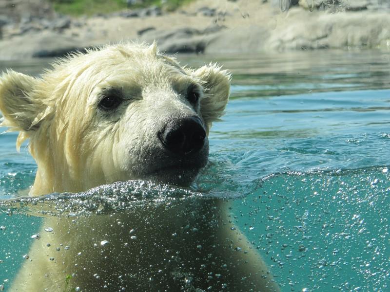 blijdorp - ijsbeer