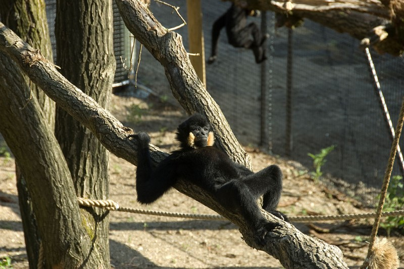 burgers zoo - chillende aap