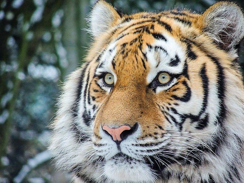 dierenpark amersfoort tijger