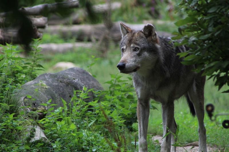 wolf in gaiazoo