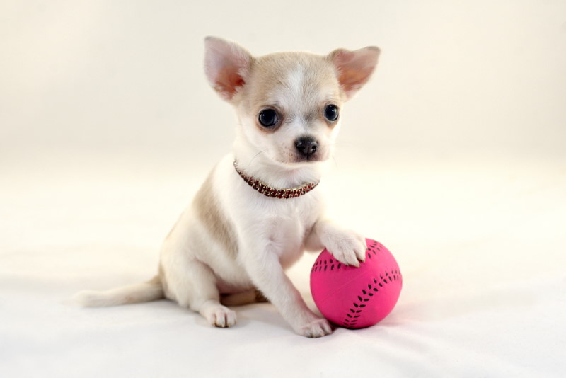 Chihuahua - kleinste hondenras