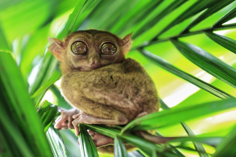 Carlito syrichta - filipijns spookdier