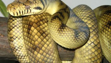 grootste-slangen