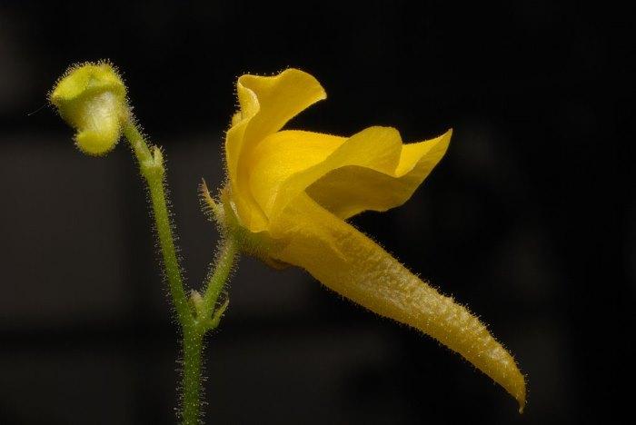 Genlisea vleesetende plant