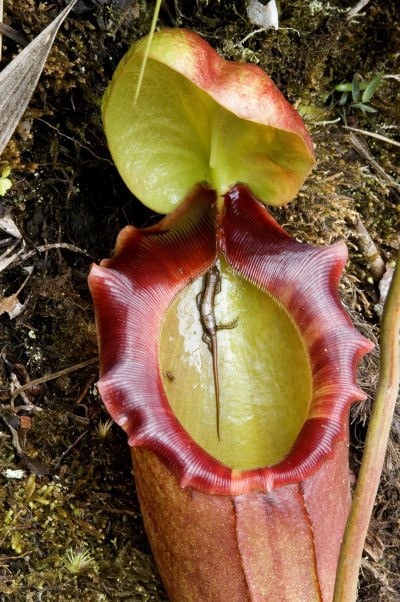 nepenthes -  vleesetende plant