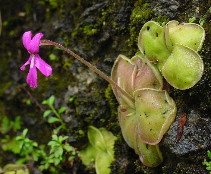 Pinguicula - vleesetende plant