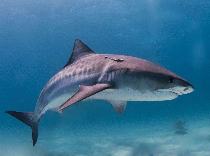 tijger haai