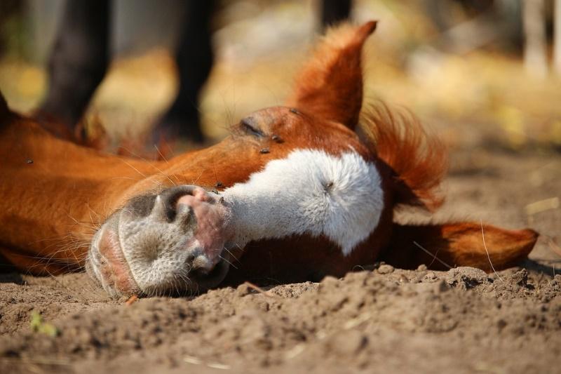 paard slapen