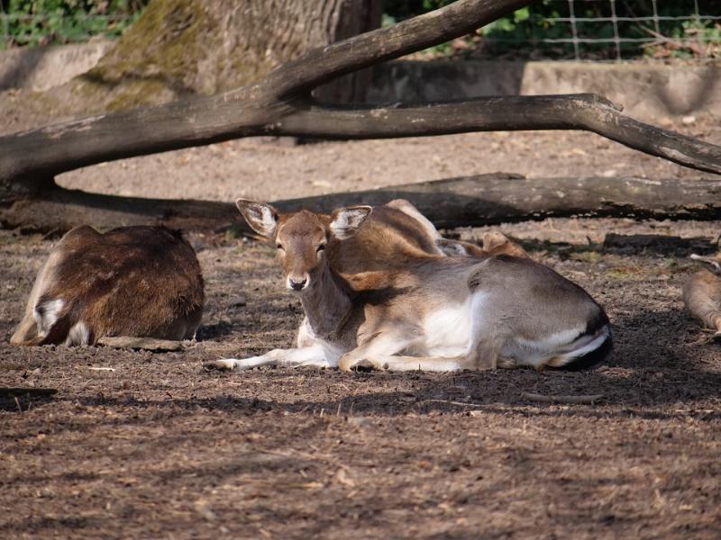 slapend hert