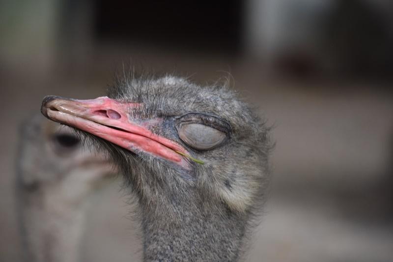 struisvogel slapen