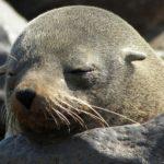 zeehond slapen