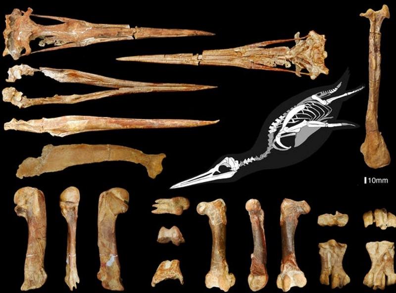 grote pengiun fossielen