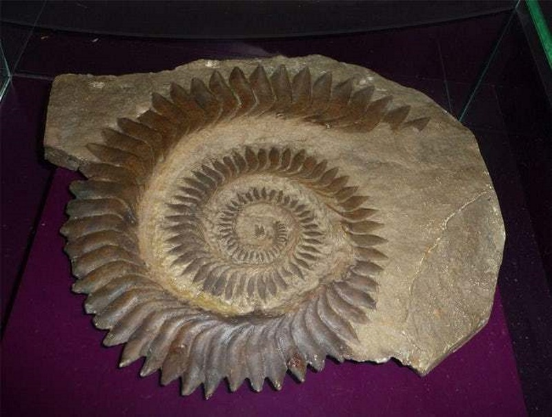 helicoprion tanden