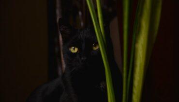 zwarte kat ongeluksymbool