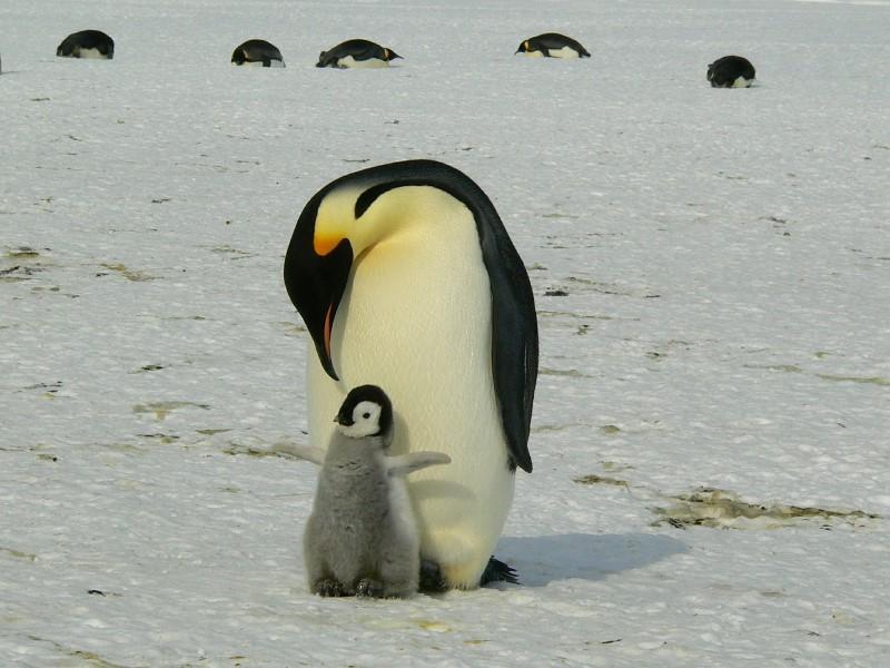 penguins op de zuidpool