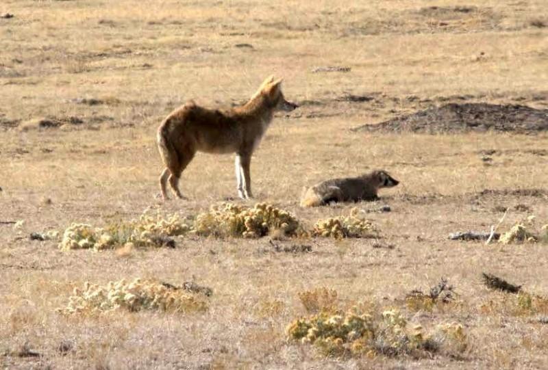 coyote en das