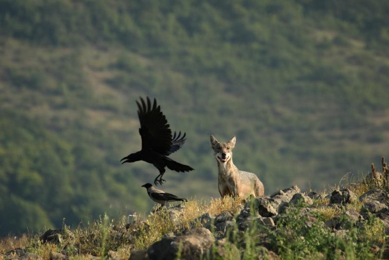 wolf en raaf