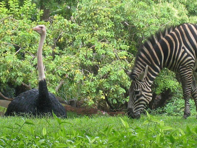 zebra's en struisvogels