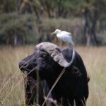 zilverreigers en waterbuffels