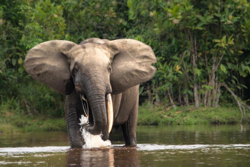 kongobekken olifant