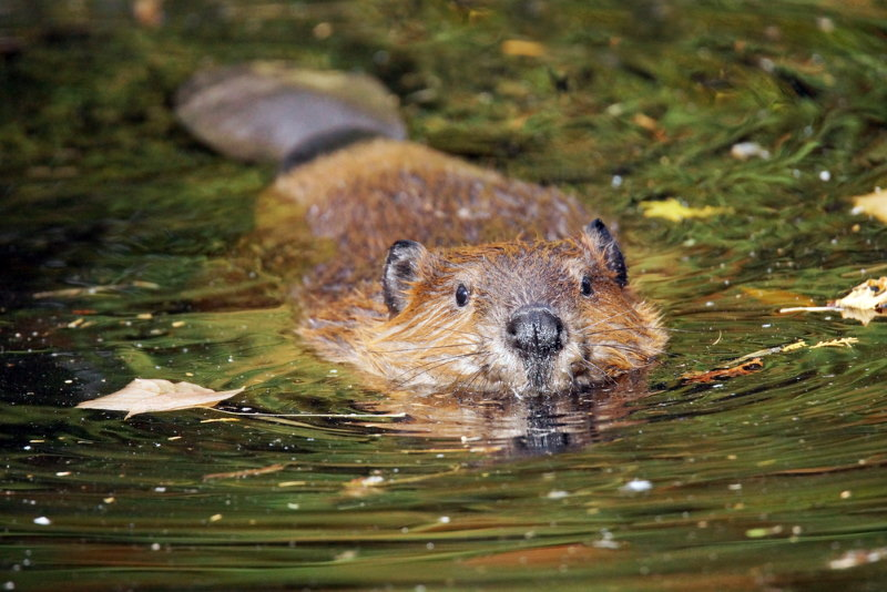Canadese bever 2