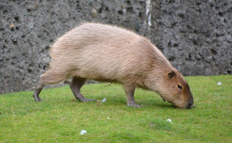 Kleine capibara 2