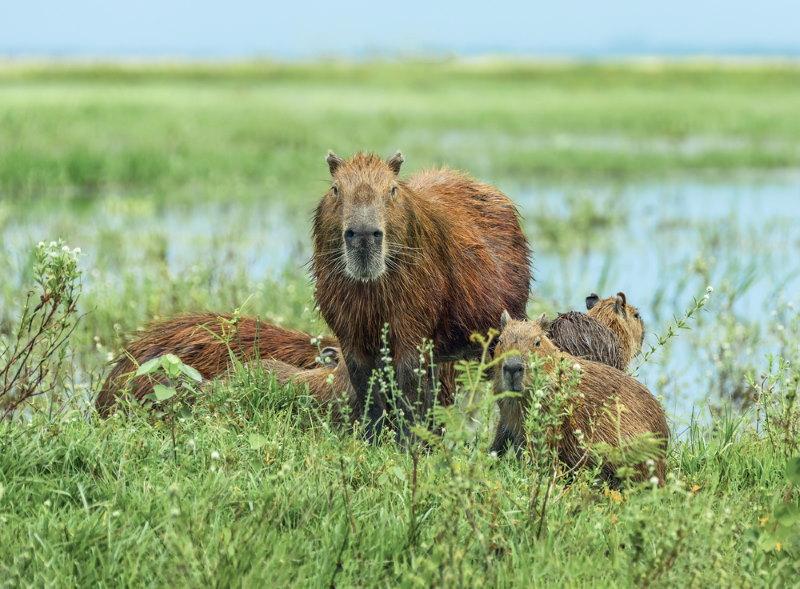Kleine capibara