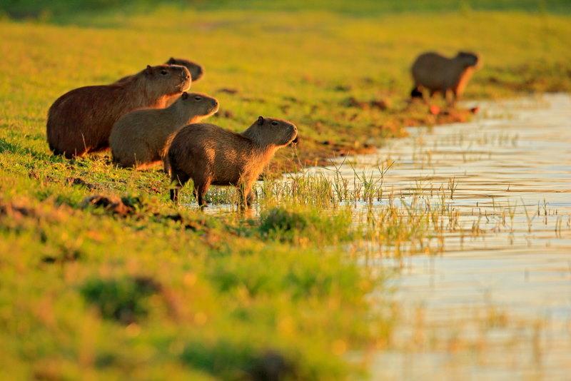 groep Capibara's