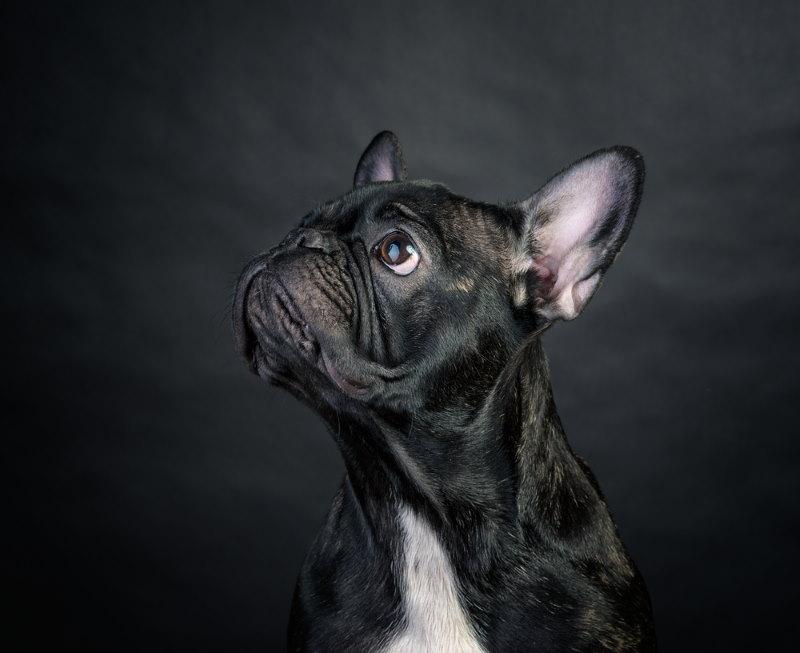 bulldog korte snuit