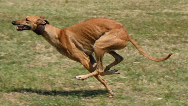 snelle honden