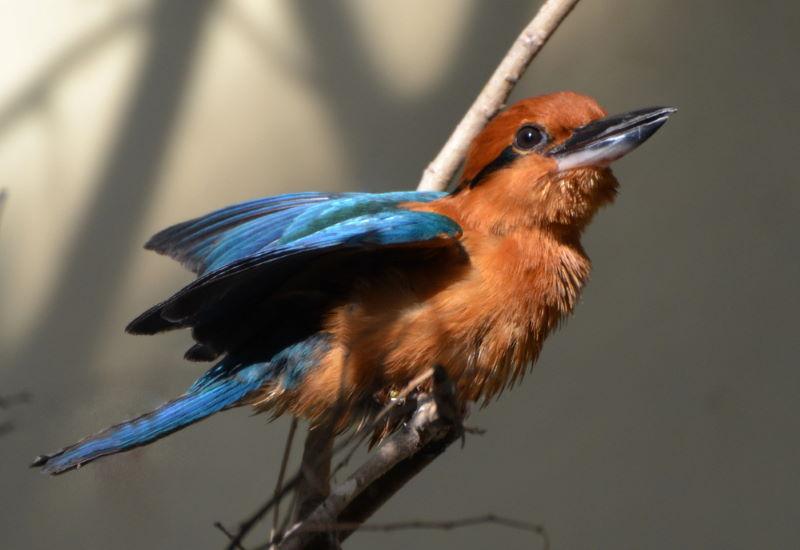 Guamijsvogel