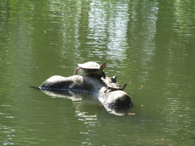 Heilige drieklauwschildpad
