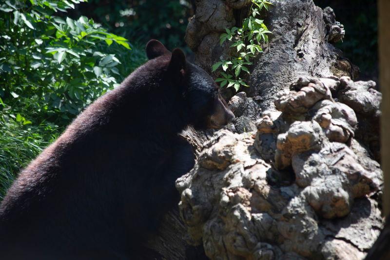 Louisiana zwarte beer