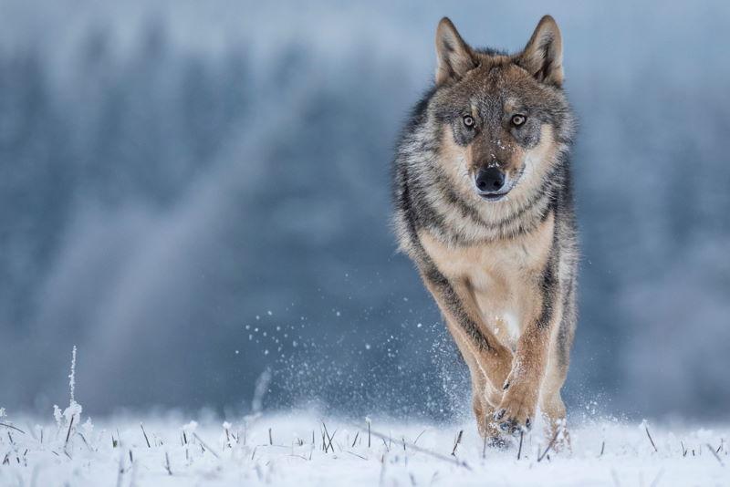 grijze wolf 2