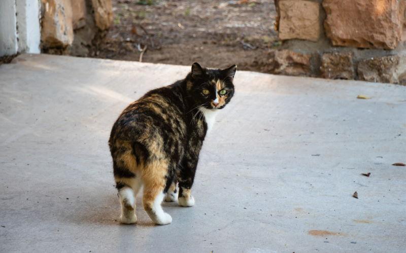 manx eiland kat