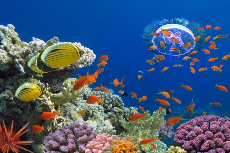 red sea koraal