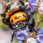 aziatische reuzenhoornaar
