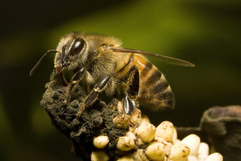 geafrikaniseerde honingbij