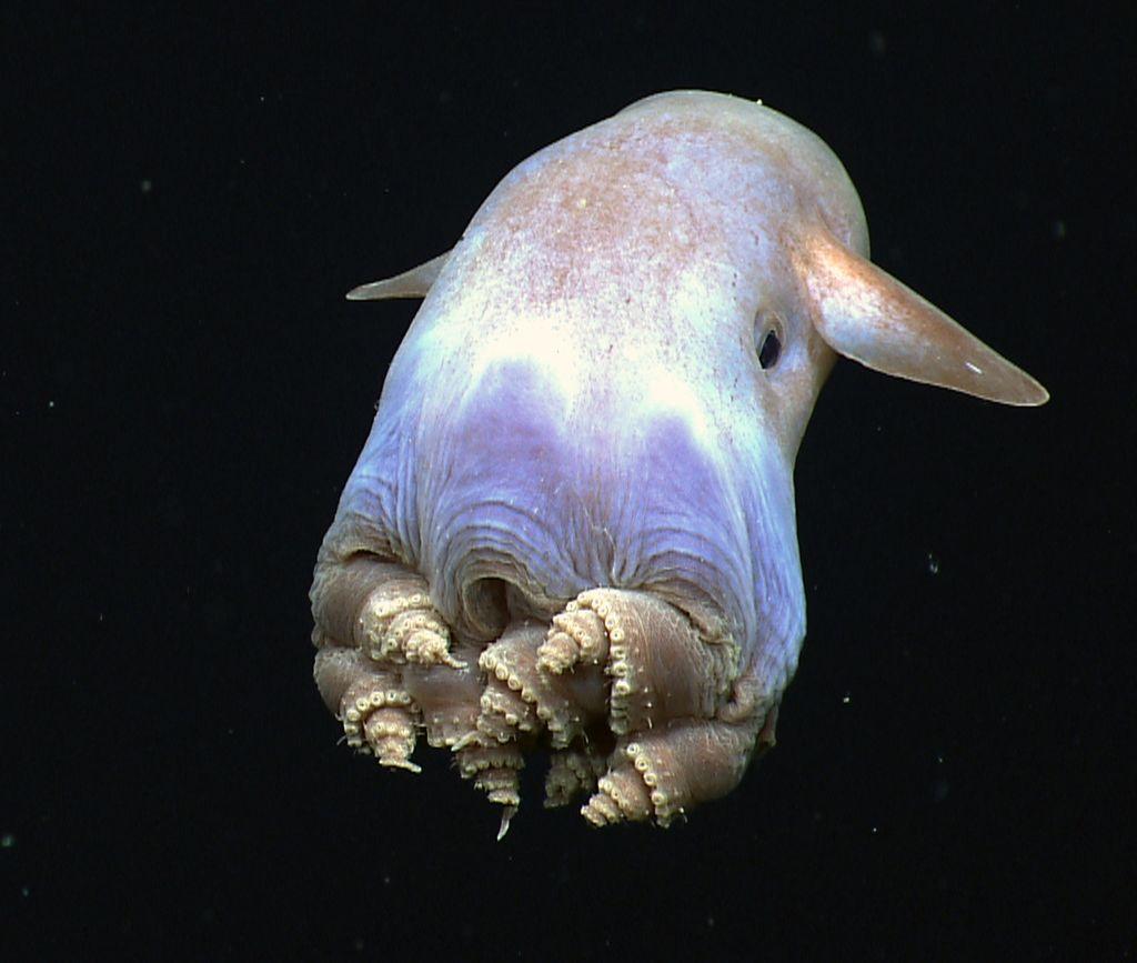 Dombo-octopus