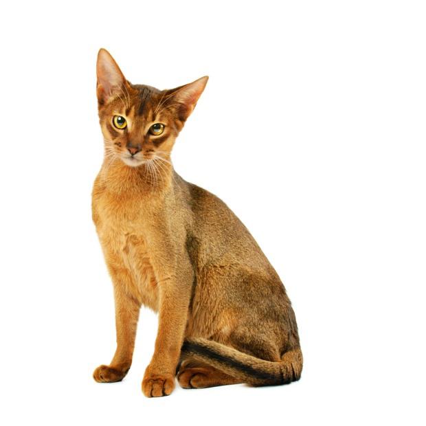 Cat Breeds Quizlet