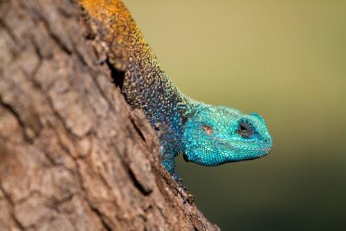 Afrikaanse Blauwhoofdige hagedis