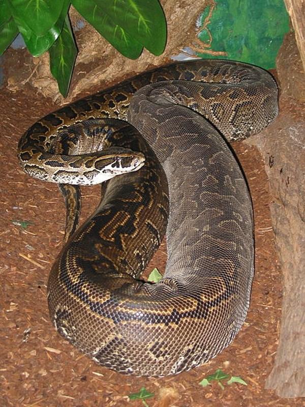 Afrikaanse Rotspython