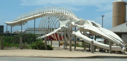 Blauwe Vinvis Skelet